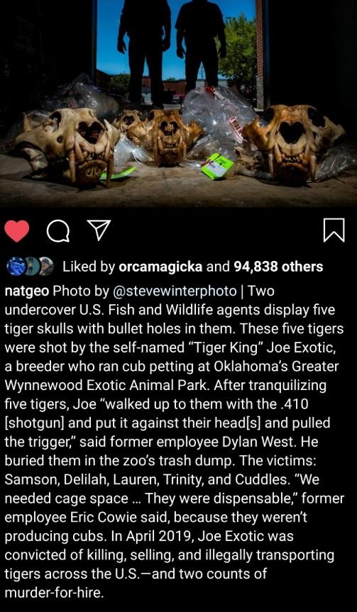 PHOTO The Tiger's That Joe Exotic Shot